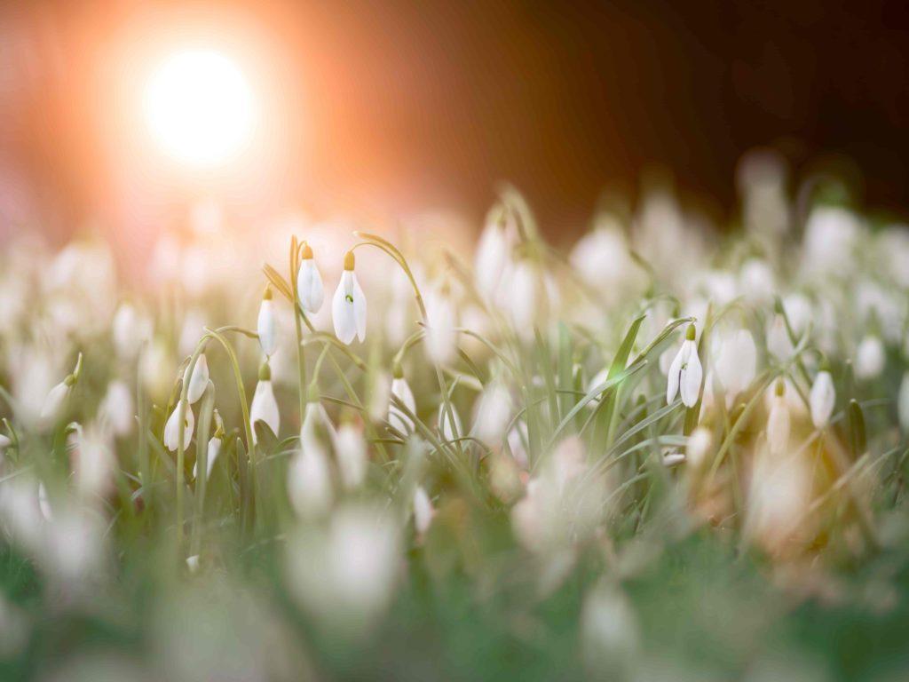 Snowdrops - fulfillment